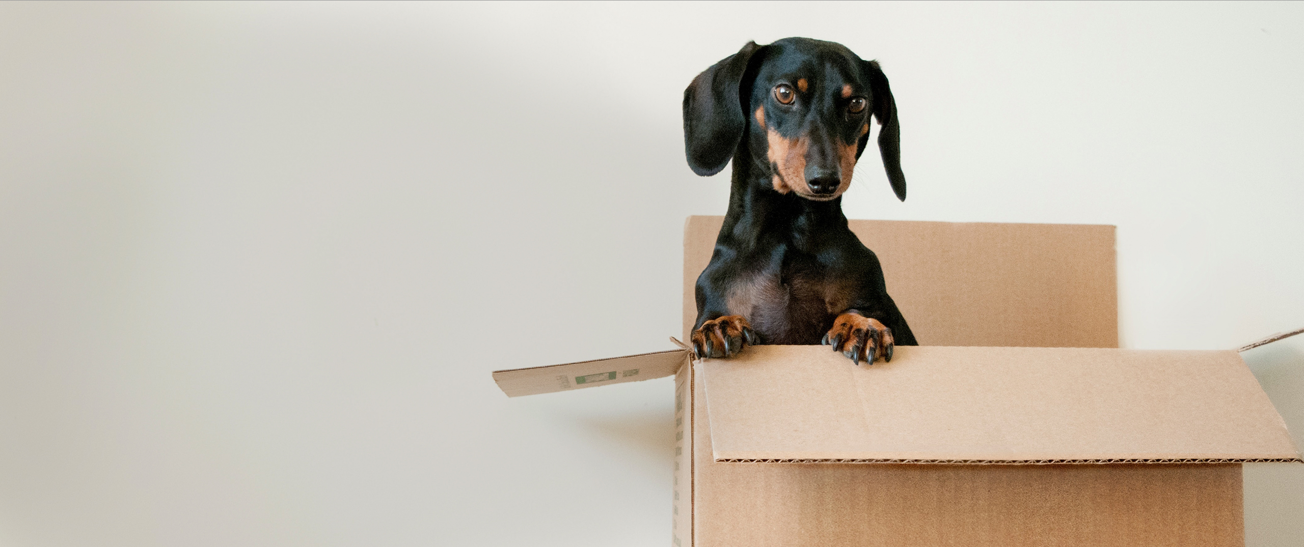 Black dachsund peeking out of a cardboard box